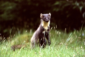 pinemarten-a-credit-bill-cuthbert-280x187
