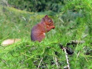 redsquirrel-in-lach